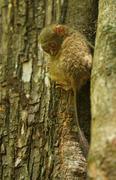 Spectral Tarsier Tarsius spectrum Tarsius tarsier Tangkoko National Park Stock Photos