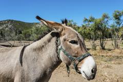 Donkey Equus africanus asinus Corsica France Europe Stock Photos
