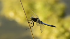Keeled skimmer, Orthetrum coerulescens Stock Footage
