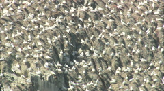 AERIAL Guernsey-Colony Of Seagulls Stock Footage
