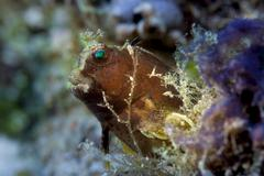 Obscure Blenny Salarias obscurus Philippines Asia Stock Photos
