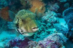 Map Puffer or Map Pufferfish Arothron mappa Indonesia Asia Stock Photos