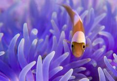 Young Saddleback Clownfish Amphiprion polymnus Philippines Asia Stock Photos