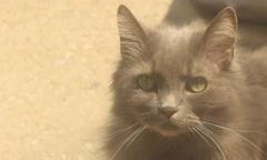 Fluffy grey cat close up Stock Footage