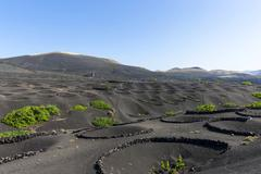 Viniculture vines growing on lava protected from the wind by lava walls dry - stock photo