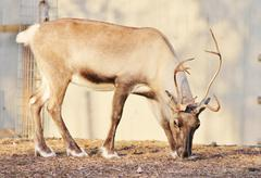 Stock Photo of Reindeer with peeling shedding velvet on antlers