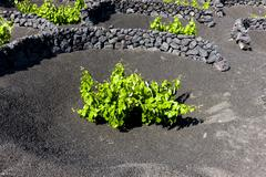 Viniculture vines growing on lava protected from the wind by lava walls dry Stock Photos