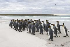 King Penguins Aptenodytes patagonicus Volunteer Point East Falkland Islands Stock Photos