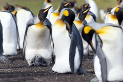 King penguins Aptenodytes patagonicus adult birds and chick Volunteer Point Stock Photos