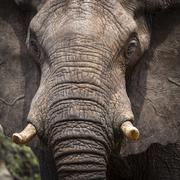 African Elephant Loxodonta africana Ghoha Hills Chobe National Park Botswana - stock photo