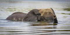 African Elephant Loxodonta africana swimming through the Chobe River Chobe Stock Photos