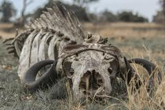 Skeleton of a Cape buffalo Syncerus caffer Okavango Delta Botswana Africa - stock photo