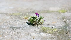 Lone flower Viola growing out of the cleft Stock Footage