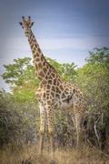 Angolan Giraffe Giraffa camelopardalis angolensis in front of bushland Ghoha - stock photo