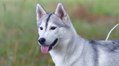 Husky dog  - stock footage