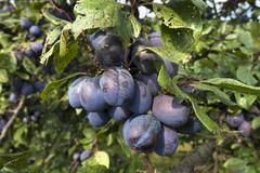 Ripe plums Prunus domestica subsp domestica on branch Bavaria Germany Europe Stock Photos