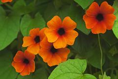Flowers of the Blackeyed Susan Thunbergia alata Stock Photos