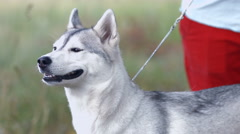 Husky dog ready for a walk - stock footage