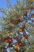 Fruits of the sea buckthorn Hippophae rhamnoides on the bush Ahrenshoop Stock Photos