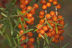Fruits of the sea buckthorn Hippophae rhamnoides on the bush Germany Europe Stock Photos