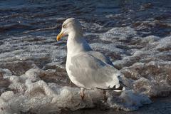 Herring Gull Larus argentatus in shallow water on the beach Baltic Sea - stock photo