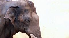 Elephant swinging his head Stock Footage