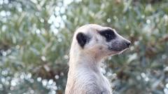 Guarding meerkat - Suricata suricatta Stock Footage