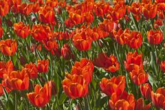 Stock Photo of Red Tulips Tulipa sp municipal park Lahr BadenWurttemberg Germany Europe