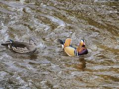 Mandarin duck Aix galericulata couple on the river Oos Baden Wurttemberg Stock Photos