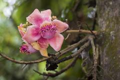 Blossom Cannonball Tree Couroupita guianensi Kerala India Asia - stock photo