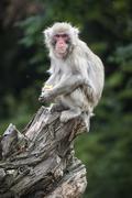 Japanese macaque Macaca fuscata sitting on old tree stump portrait captive Stock Photos