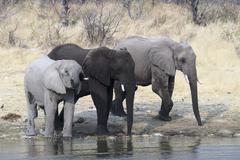 Three African Elephants Loxodonta africana standing and drinking water Etosha - stock photo