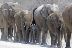 A herd of African Elephants Loxodonta africana walking in a line Etosha Stock Photos