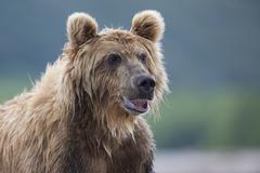 Brown bear Ursus arctos portrait Kamchatka Russia Europe Stock Photos