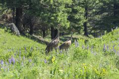 Stock Photo of Sandhill Cranes Grus canadensis Beaver Ponds Trail Yellowstone National Park