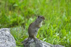 Stock Photo of Uinta Ground Squirrel Spermophilus armatus Grand Teton National Park Wyoming