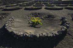 Worldwide unique viniculture vines growing in dry pits on volcanic ash lava Stock Photos