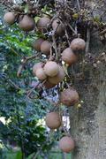Fruit of the cannonball tree Couroupita guianensis Bali Indonesia Asia Stock Photos