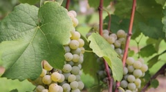 Ripe White Grapes and Vineyard Stock Footage