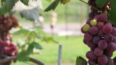 Red Ripe Grapes at Vineyard - stock footage