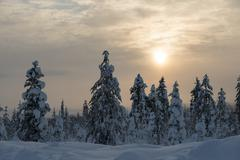 Snow covered spruces Fjell in winter Riisitunturi National Park Posio Lapland - stock photo