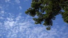 Green fire tree blue sky and scattered white clouds Stock Footage