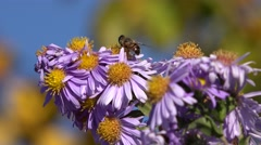 Stock Video Footage of Bees visiting flowers, natural pollination