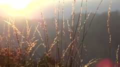 Sun down light shines behind grass in the wind Stock Footage