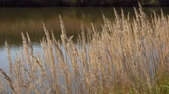 Dry yellow reed in the autumn breeze, lake shore Stock Footage