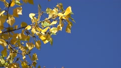 Poplar tree branch yellow leaves in the autumn wind - stock footage