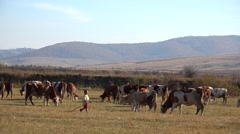 Country peasant little kid with cows on the field Stock Footage