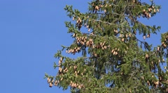 Fir tree with cones Stock Footage