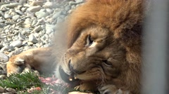 Lion eating a piece of flesh at the zoo Stock Footage