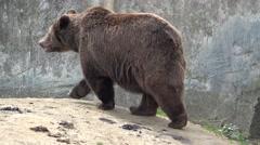 Brown bear walking alone Stock Footage